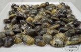 Almeja fina (Ruditapes decussatus)