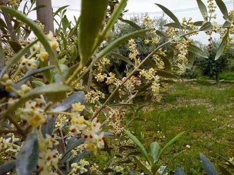 La belleza del olivo